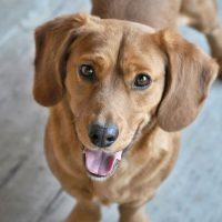 Cherry Eye in Dogs: Signs and Treatments