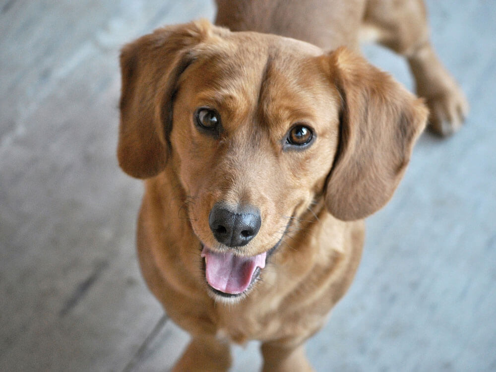 Signs and Treatments for Cherry Eye in Dogs