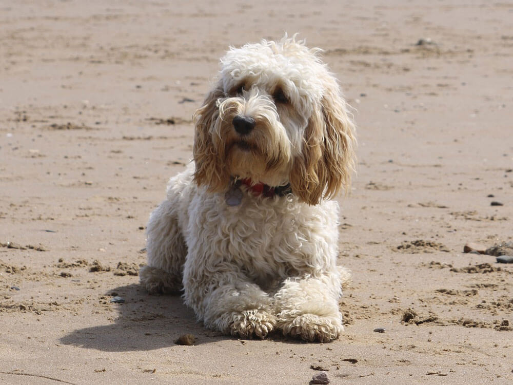 cockapoo, runner up in Britain's Top 100 dogs 2019