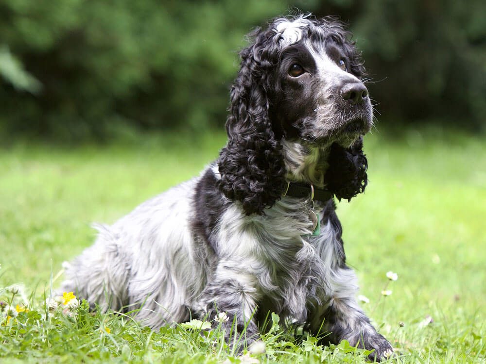 cocker spaniel, 5th place in Britain's top 100 dogs 2019