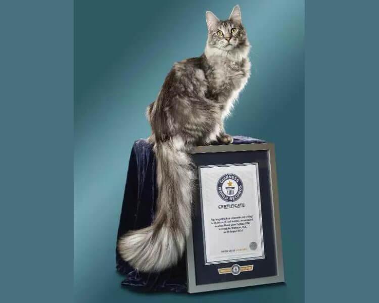 cygnus, the longest cat on the tail