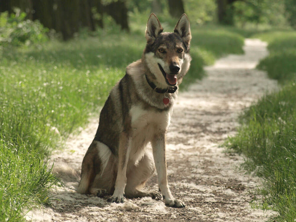a czechoslovakian wolfdog sitting on the ground
