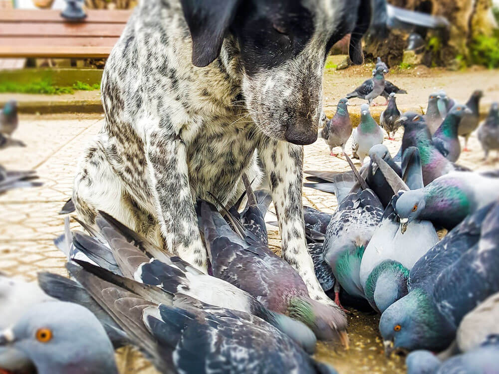 Chlamydia Risk in Dogs from Bird Poo or Carcasses