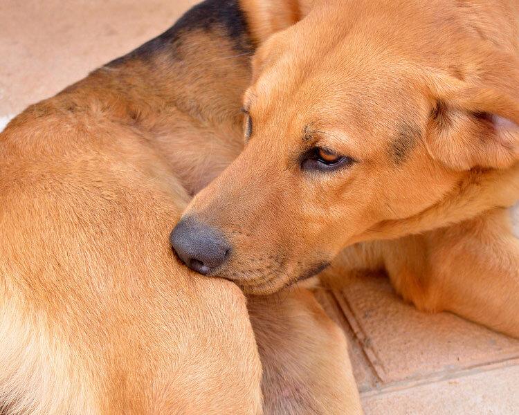 dog biting its thigh due to flea bites