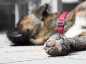 Dog Foot Corns – Causes and Treatments