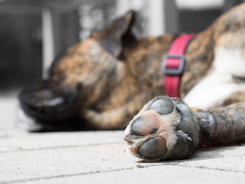 Causes and Treatments for dog foot corns