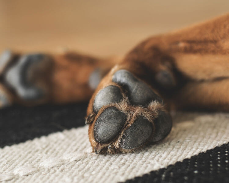 a dogs paw with a dog foot corn disease
