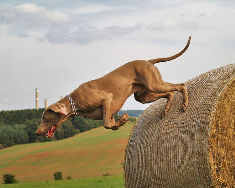 a weimaraner dog hunting on the field