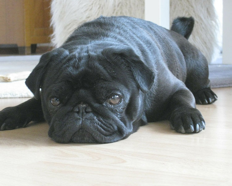 a dog lying down on the floor due to difficulty of walking