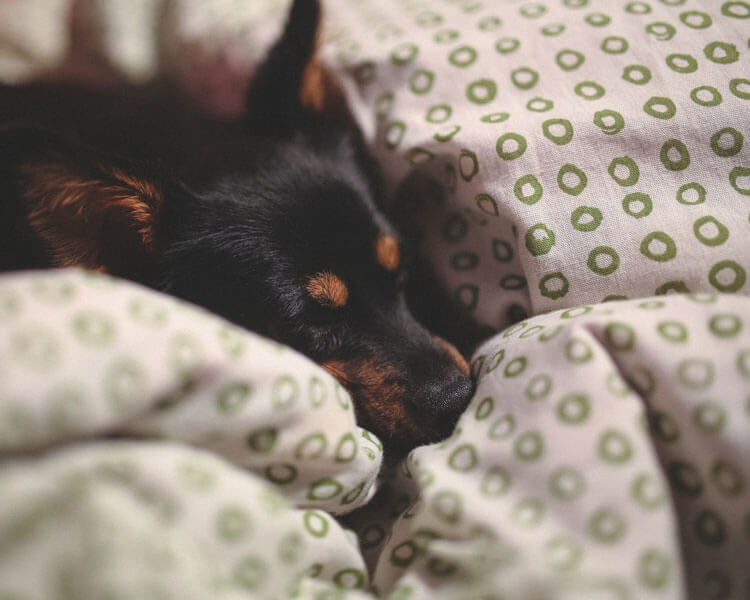 dog sleeping in bed with thick blanket