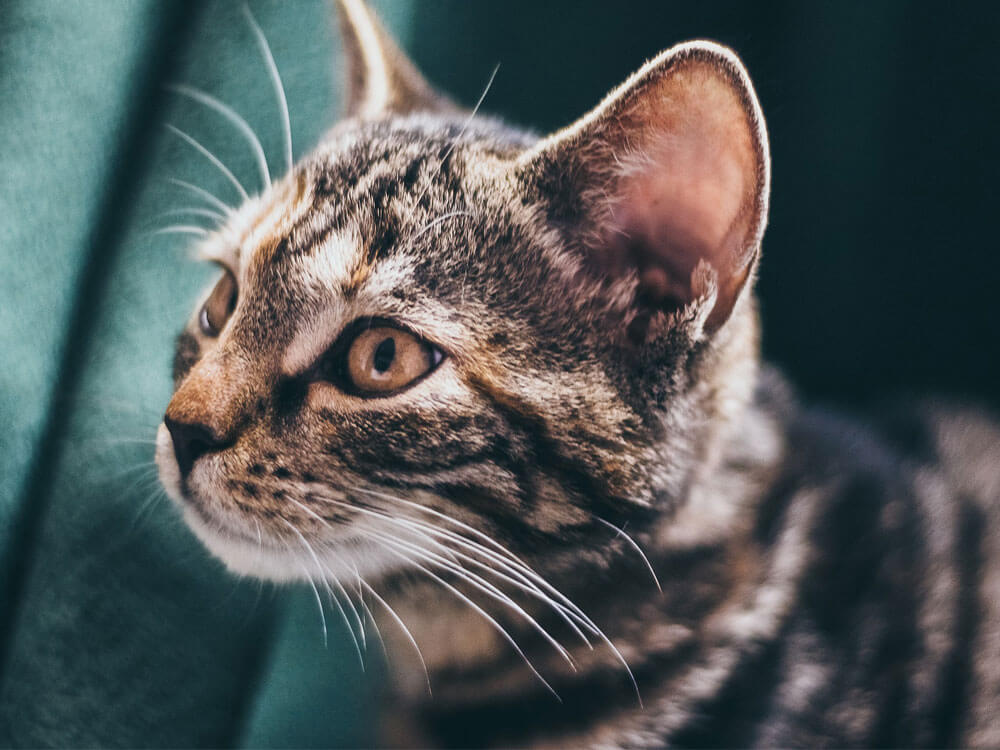 preventions and treatments for ear mites in cats