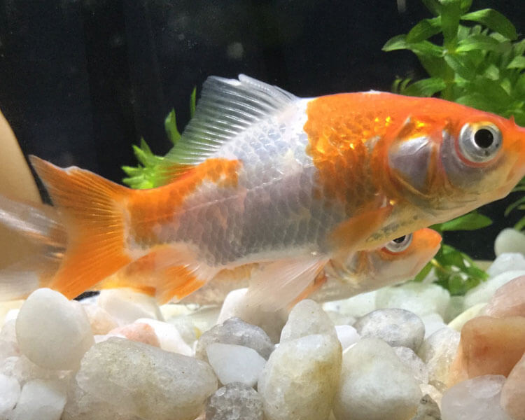 a goldfish with a fin rot disease