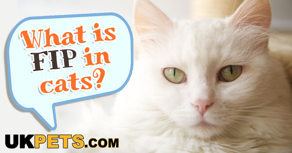 Fip In Cats Symptoms And Treatments Uk Pets