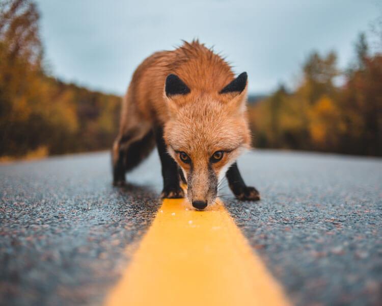 a fierce fox on the road