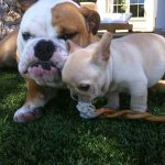 David and Victoria Beckham's french bulldog, scarlet together with her big sister, coco