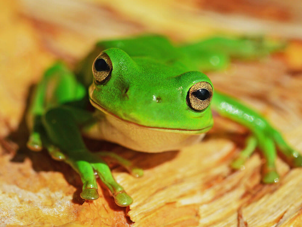 Having Frogs as Pets