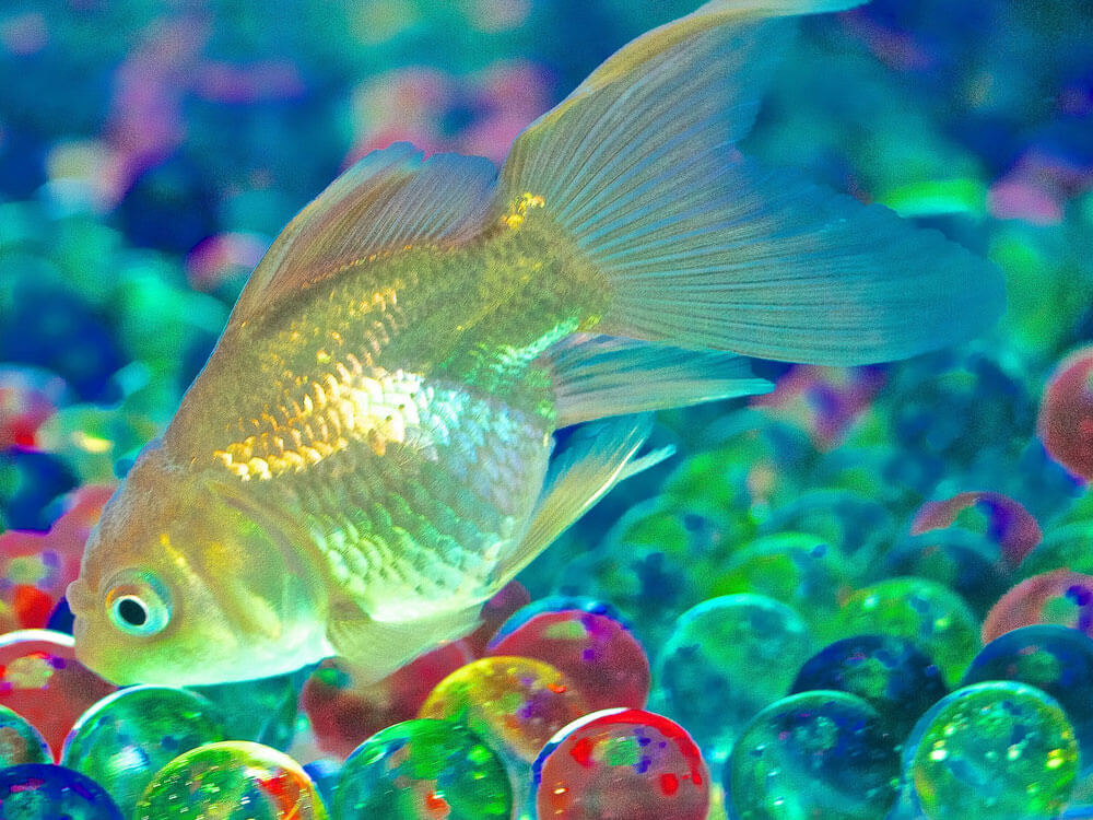 a golden goldfish in a tank with colorful marbles