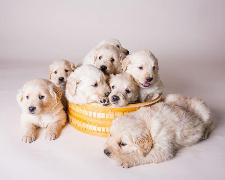 a golden retriever puppies in a small litter basket