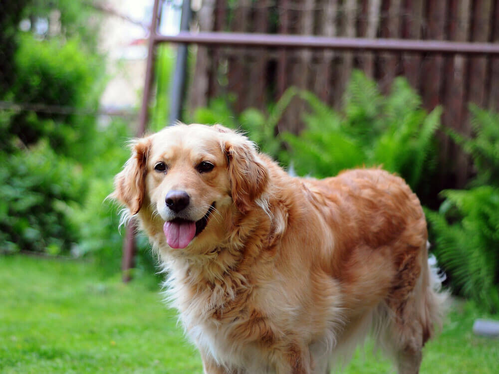 golden retriever, 9th place in Britain's top 100 dogs 2019