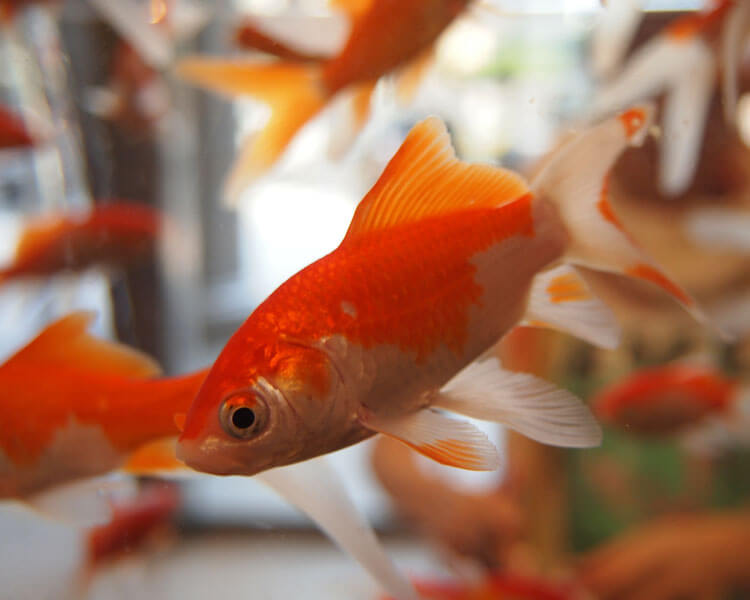 goldfish diseases