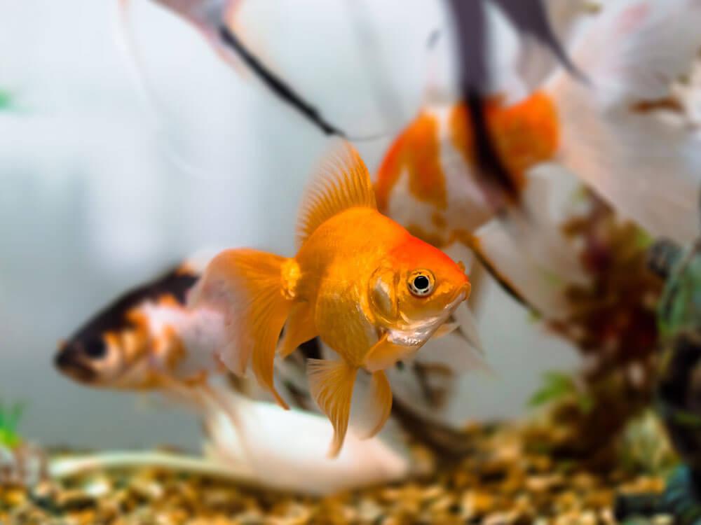 goldfish diseases