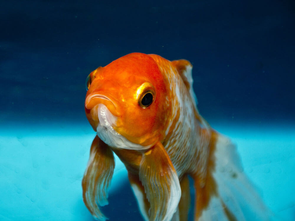 a closed up eye of a goldfish