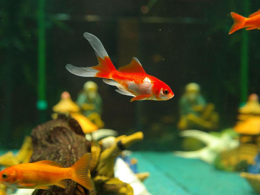 Five Eye-opening Goldfish Facts