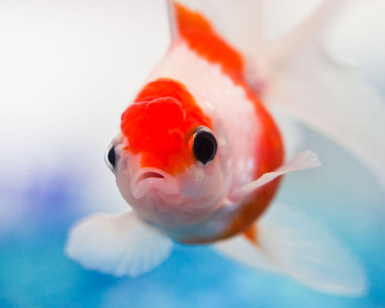a goldfish with a fungus on its head