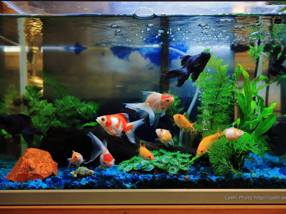 a goldfish inside the aquarium