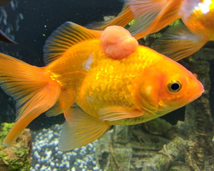 a goldfish having a tumour