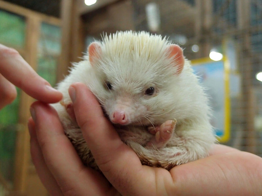 a hedgehog in a woman's hand