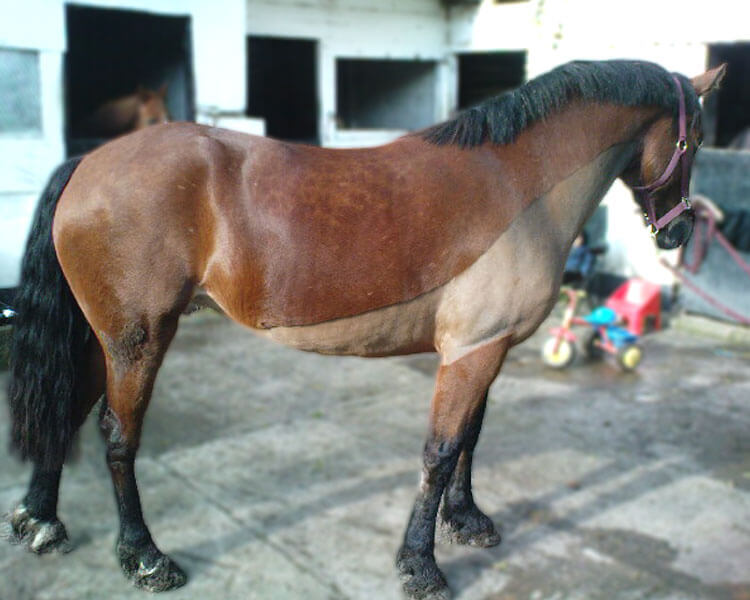 a horse with body clip