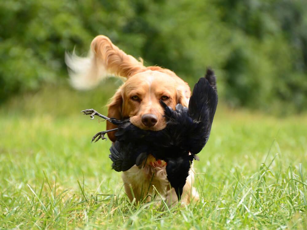 Breeding Hunting Dogs