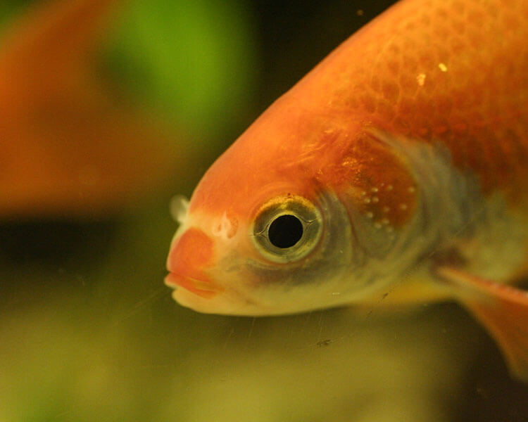 a goldfish with an ich disease