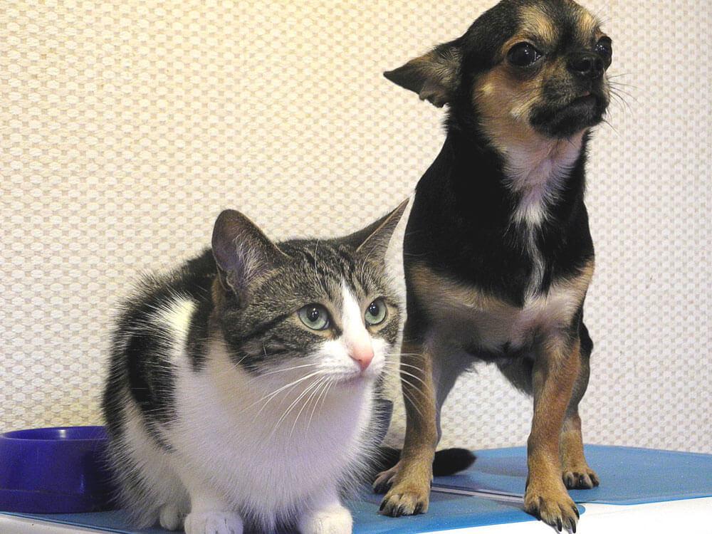 indoor cat and dog listening