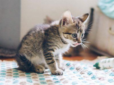 Kitten Care Guide on Kitten Feeding