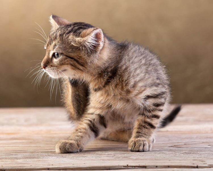 a kitten scratching its neck