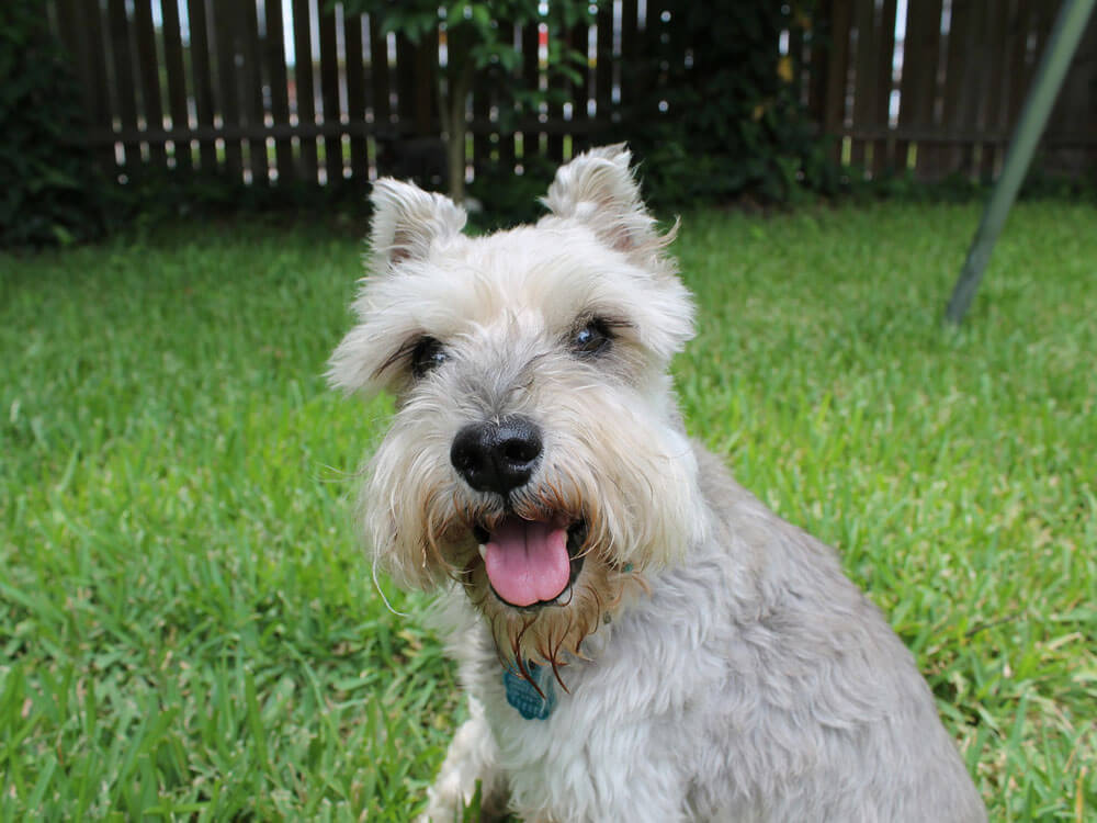 miniature schnauzer, one of the smartest small dog breed