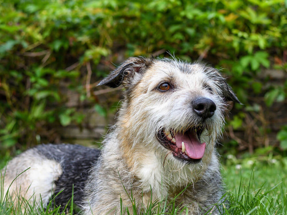 a mixed breed dog, 10th place in Britain's top 100 dogs 2019