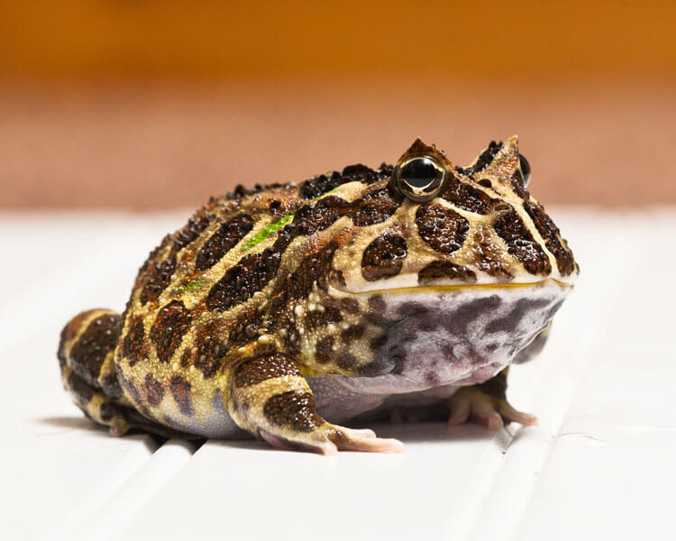 a pacman frog