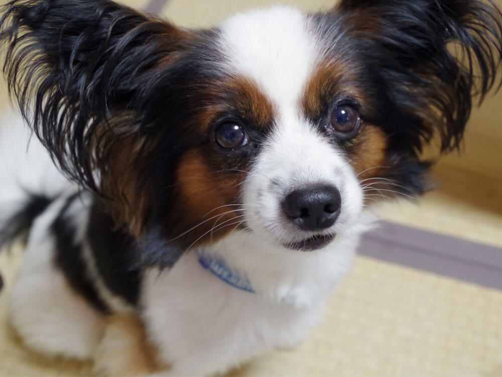 papillon, one of the smartest small dog breed