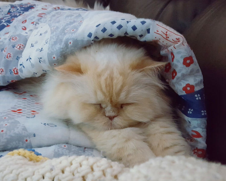 a persian cat snoring while sleeping