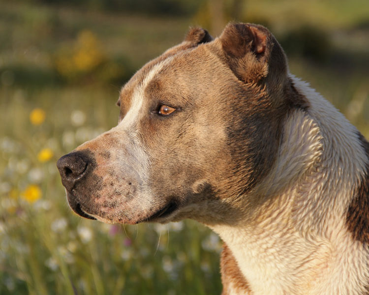 a pitbull standing in the grass field