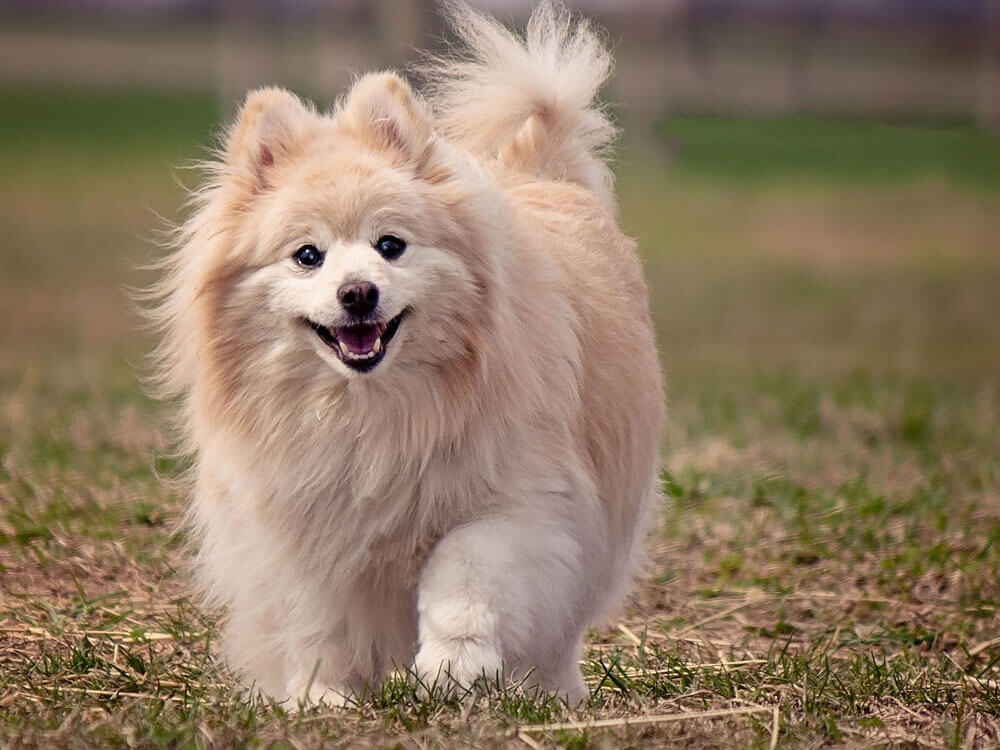 pomeranian, one of the smartest small dog breed