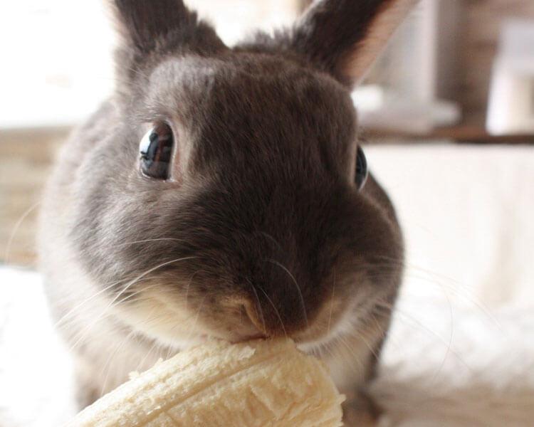 a rabbit eating banana treat