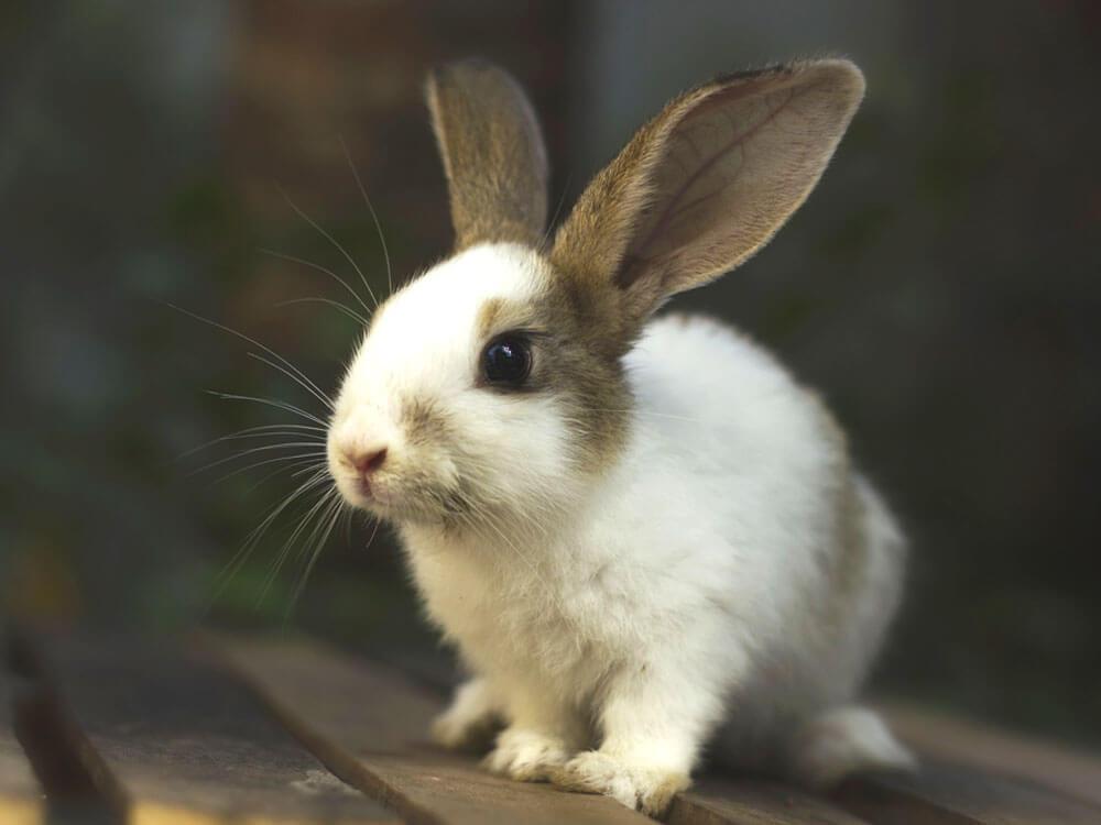 Fatal Rabbit Virus Killing Rabbits Within Twenty-Four Hours