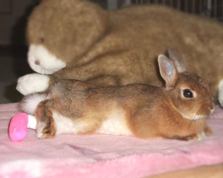 a rabbit with an injured leg
