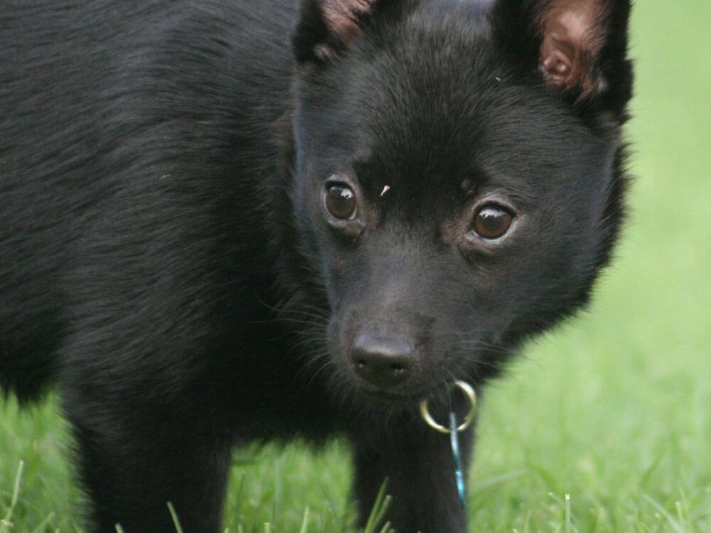 schipperke, one of the smartest small dog breed