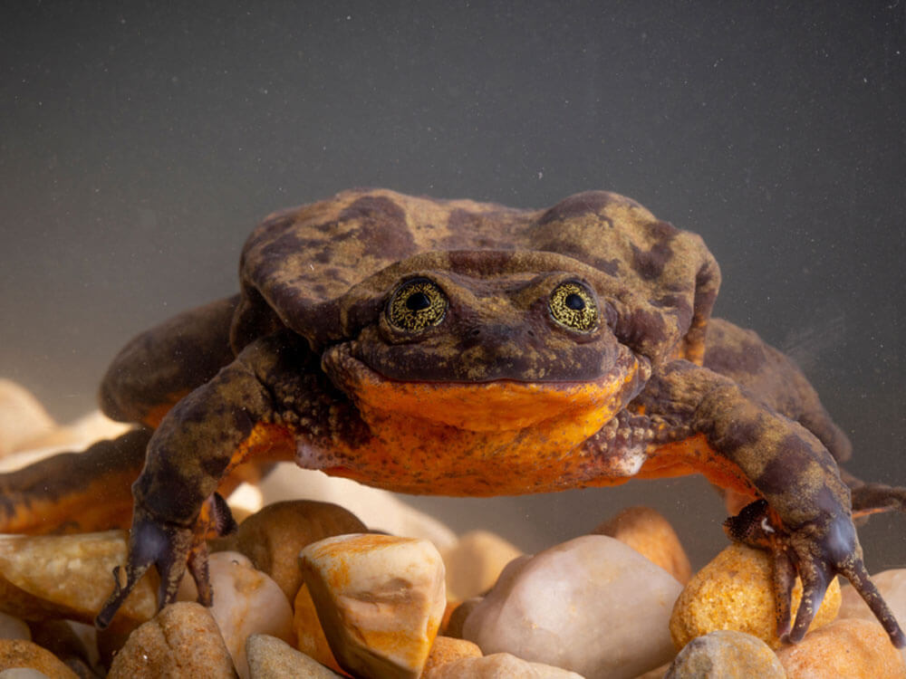 Ten-Year Bachelor Sehuencas Water Frog Finally Found Its Sweetheart