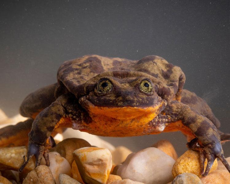 Ten-Year Bachelor Sehuencas Water Frog Finally Found Its Sweetheart
